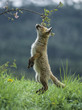 Fox cub on hind legs sniffing branch