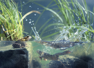 Three frogs in water, surface view