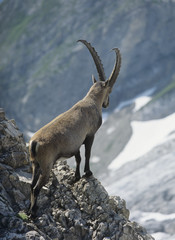 Alpine ibex male looking into valley