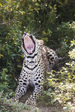 Leopard Panthera pardus lying in bushes, yawning