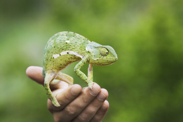Man holding chameleon, close-up of hand