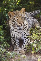 Leopard Panthera pardus lying in bushes