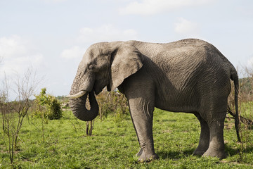 Adult African elephant, side view