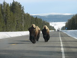 Yellowstone Bison on Highway outside West Yellowstone