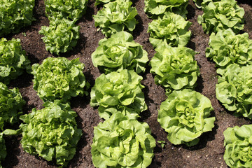 Rows of Butterhead Lettuce