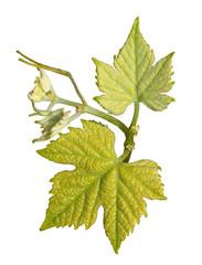 Naissance de feuilles