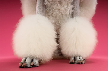 White Poodle on pink background, low section