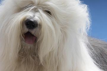 Sheepdog, close-up