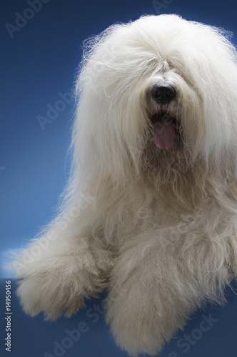Sheepdog on blue background
