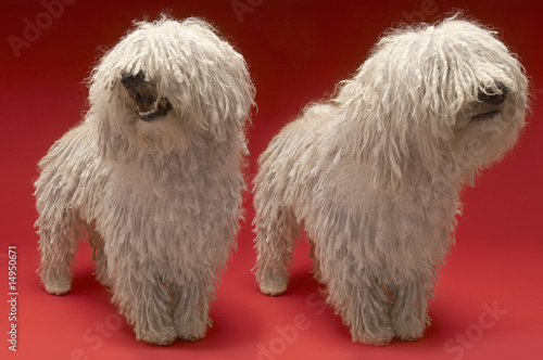 Two Komondor Dogs, on red background
