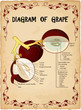 Grapes diagram vector illustration