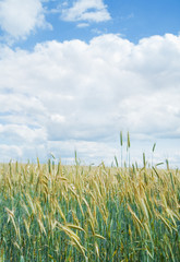 Wheat field in June
