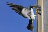 Tree Swallow Feeding Babies poster