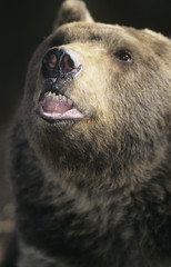 Grizzly bear roaring, close-up