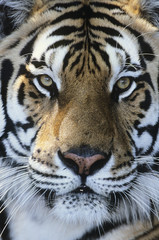 Tiger, close-up of face