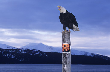 Bald Eagle perched on post in mountains