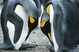 Pair of Penguins head to head