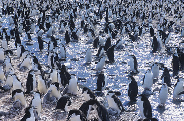 Large colony of Penguins gathering on ice