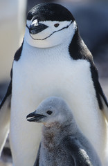 Penguin chick with mother, close-up