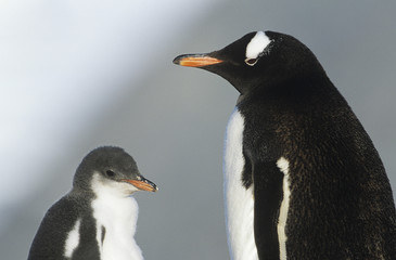 Juvenile Penguin with mother