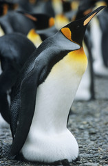 Emperor Penguin near colony