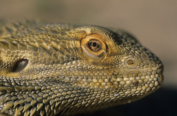 Water dragon, close-up of head