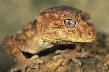 Gecko, close-up