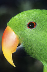 Parakeet, close-up of head
