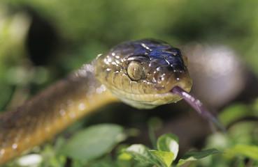 Brown snake, close-up