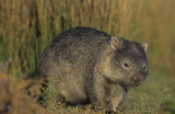 Wombat in field