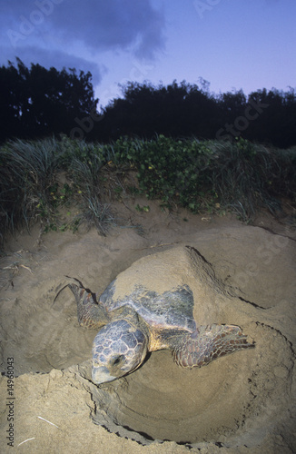 Leatherback Turtle nesting on beach