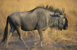 Wildebeest Connochaetes Taurinus on savannah
