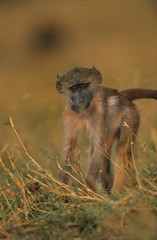 Monkey in grass