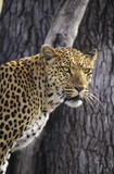Leopard Panthera Pardus standing beside tree