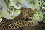 Leopard Panthera Pardus resting in tree