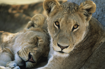 Two Lions resting, close-up