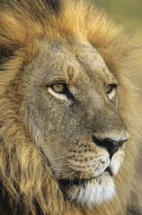 Male Lion, close-up of head