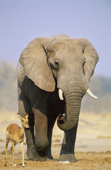 African Elephant Loxodonta Africana and Gazelle on savannah