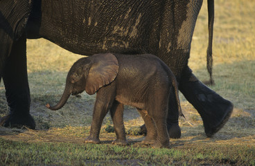 Young African Elephant Loxodonta Africana with mother on savannah