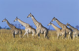 Group of Maasai Giraffes Giraffa Camelopardalus on savannah