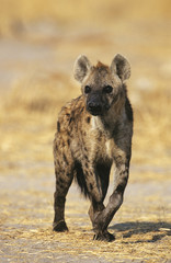 Spotted Hyena Crocuta Cocuta, standing on savannah