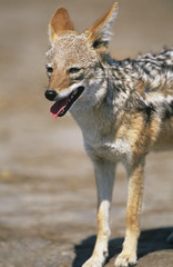 Black-backed Jackal Canis Mesomelas, on savannah