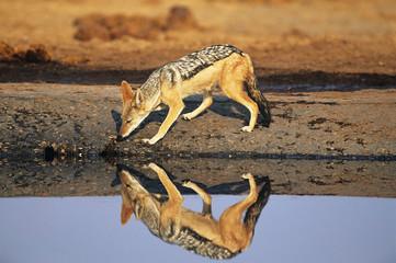 Black-backed Jackal Canis Mesomelas, at waterhole