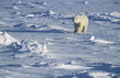 Polar Bear walking in snow, Yukon