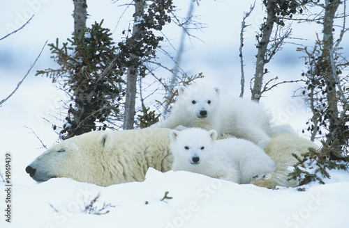 Polar Bear cubs with mother in snow, Yukon