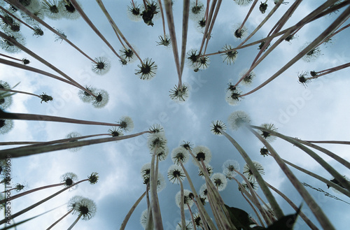 Dandelions, view from below