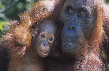 Orangutan embracing young, close-up