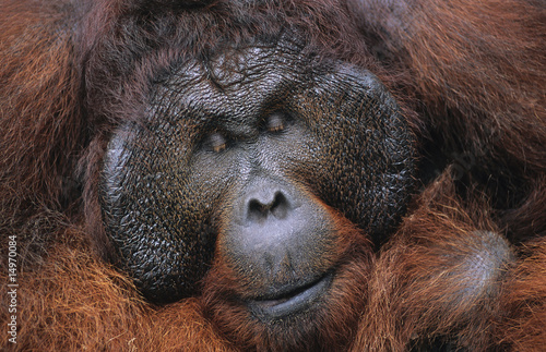 Male Orangutan resting, close-up