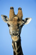 Maasai Giraffe Giraffa Camelopardalus close-up
