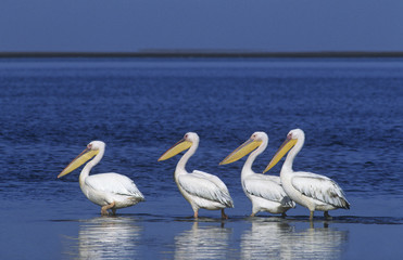 Four Pelicans wading in ocean